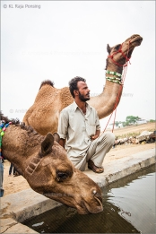 camels and their keeper